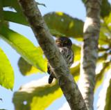 Amazonian Pygmy-owl