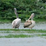 Spot-billed Pelican
