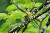 Blue-tailed Bee-eater with butterfly
