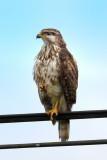 Grey Hawk-juvenile