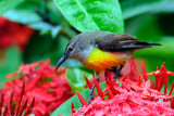 Purple-rumped Sunbird-female