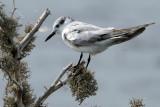 Whiskered Tern - juvenile