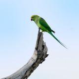 Rose-ringed Parakeet   -   juvenile