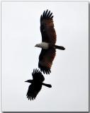 Brahminy Kite & Crow - a pair