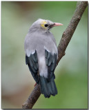 Wattled Starling - non-breeding male