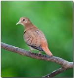 Blue Ground Dove - Female