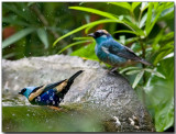 Blue-necked and Golden-naped Tanagers