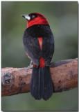 Masked Crimson Tanager