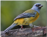 Blue and Yellow Tanager - male