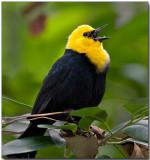 Yellow-hooded Blackbird - male