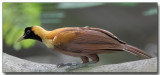 Red Bird of Paradise - Female
