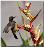 Olive-backed Sunbird - Departure