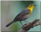 Yellow-hooded Blackbird -female