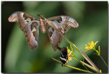 Atlas Moth & Common Mormon Butterfly