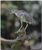 Black-crowned Night Heron - juvenille
