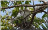Little Egret - adults & chick