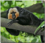 White-faced Saki - male