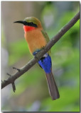 Red-throated Bee Eater