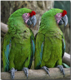 Military Macaws - eyes left!