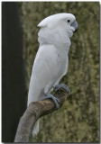 Umbrella Crested Cockatoo