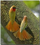 Red-throated Bee Eaters