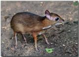 Lesser Mousedeer - juvenile