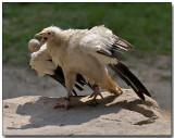 Egyptian Vulture - egg toss