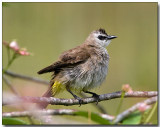 Yellow-vented Bulbul - after a bath