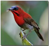 Crimson Sunbird - with lunch