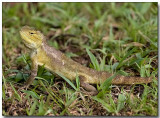 Insect control - Changeable Lizard