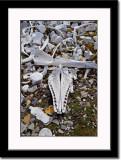 Skelletal Remains of Beluga Whales