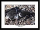 Sleeping Penguins Chicks