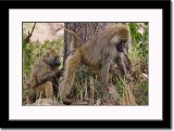 Baboons' Way of Interacting