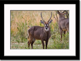 Toilet Seat Waterbuck