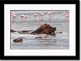 Hippos and Flamingos in the Background