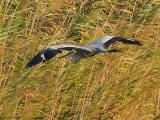 107 Grey Heron.jpg
