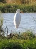 111 Cattle Egret.jpg