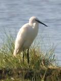 113 Little Egret.jpg