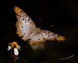 Butterfly nt 7840.jpg
