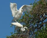 Great Egrets 3798.jpg