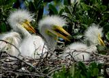 Great Egret Babies3927.jpg