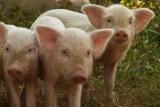 Curious piggies.jpg