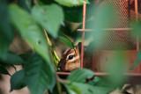 20100627-7052-Chipmunk-2.jpg