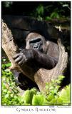 Gorilla Bachelor - 7841 05Dec01