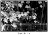 04Feb06 Babys Breath - 10011