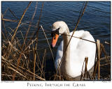 20Mar06 Peeking Through the Grass - 10493