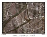 12April06 Female Northern Flicker - 10718
