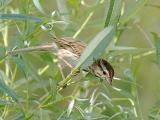 Song Sparrow in Curley Willow