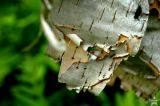 Ant/ Birchbark 1