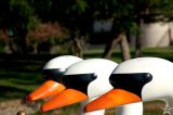 Swan Boats 3